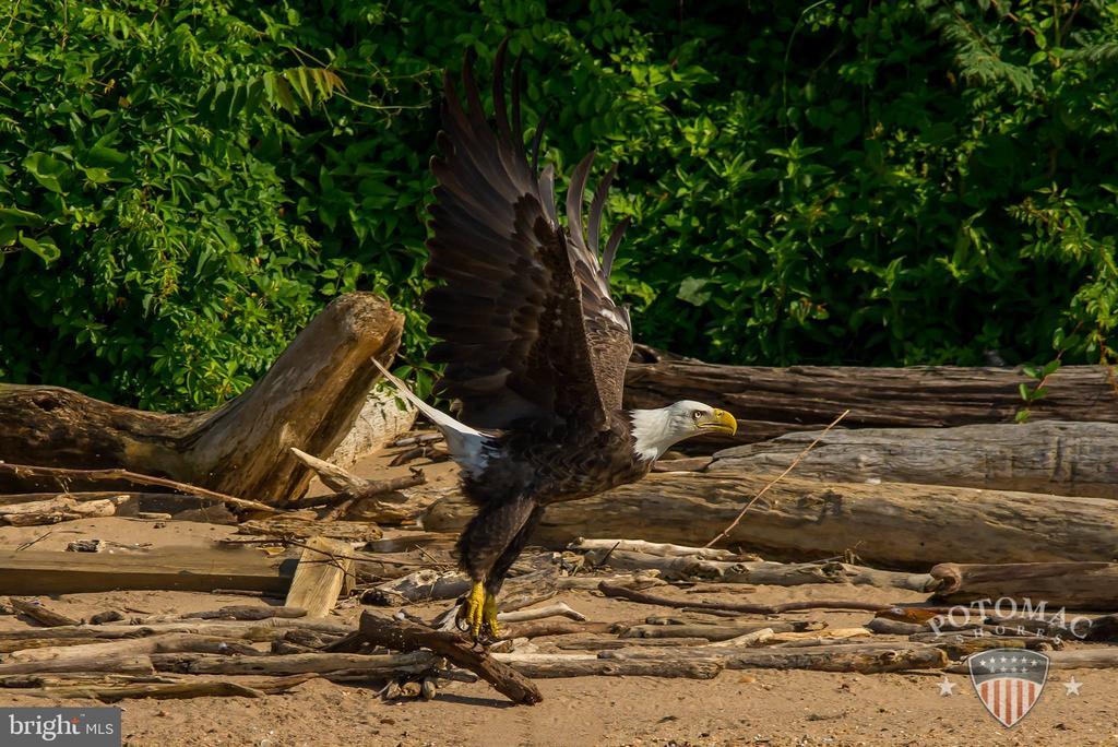 Resident Bald Eagle - 17013 SILVER ARROW DR, DUMFRIES