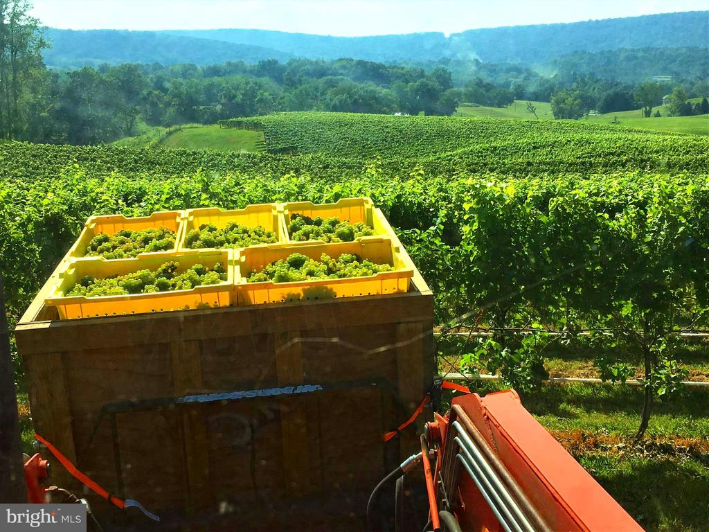 Bringing in a load of grapes during harvest - 12138 HARPERS FERRY RD, PURCELLVILLE
