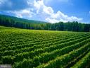 Vineyards produce award winning wines - 12138 HARPERS FERRY RD, PURCELLVILLE