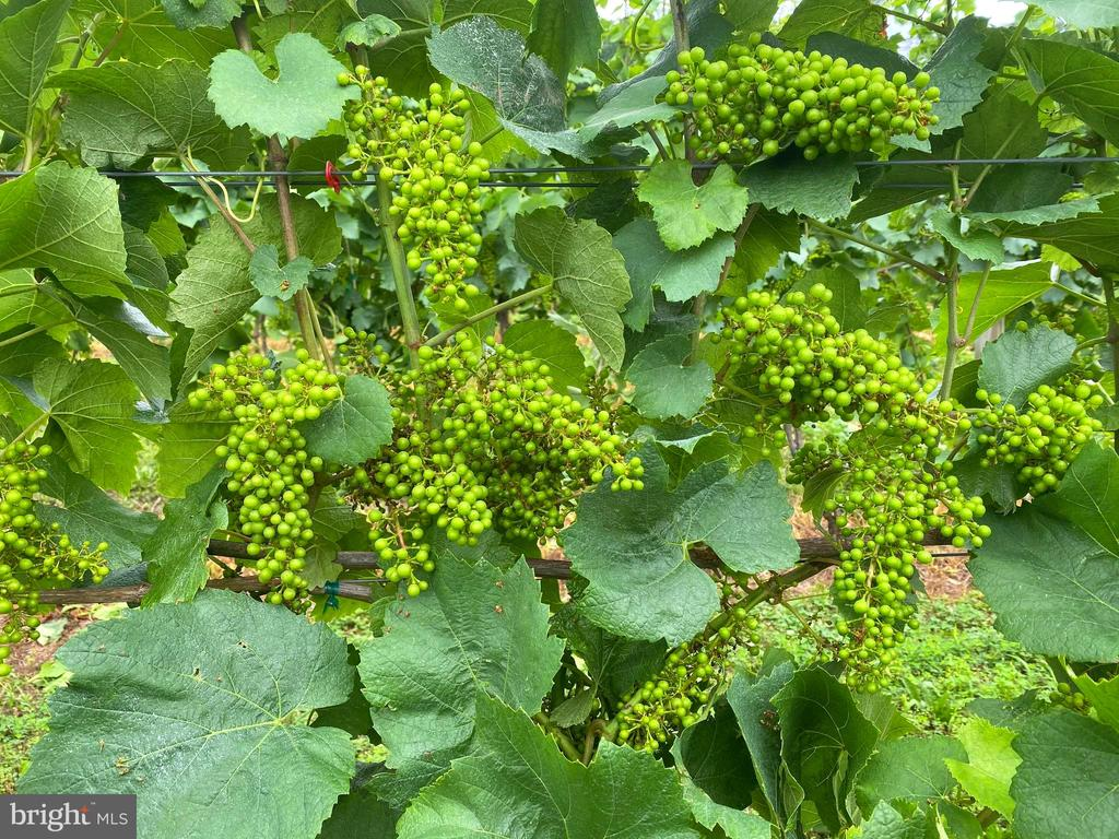 Grape clusters forming - 12138 HARPERS FERRY RD, PURCELLVILLE
