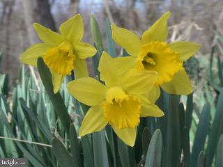 Daffodils planted by Susanna Riticor back in 1853 - 41192 BLACK BRANCH PKWY, LEESBURG